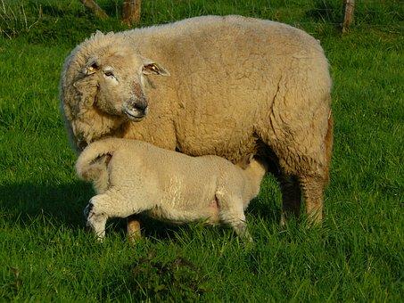 Sheep, Wool, Animal, Fur, Meadow, Grass, Animals, Lamb