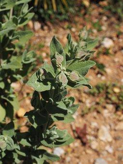 Leaves, Habitus, Flower, Plant, Silver White Cistus