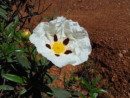 Flower, Jara, Shrub, Vegetable, Nature, Cistus White