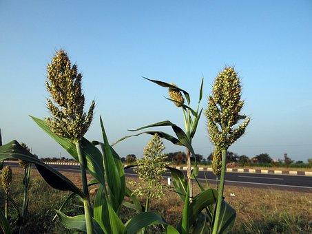 Jowar, Sorghum, Karnataka, India, Agriculture, Crop