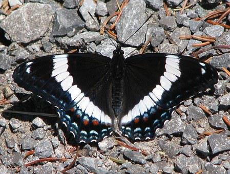 American White Admiral, Limenitis Arthemis, Butterfly