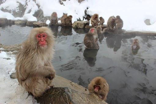 Snow Monkeys, Macaque, Japanese, Jigokudani, Primate