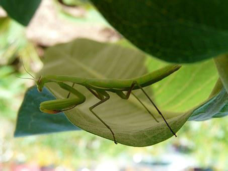 Praying Mantis, Green, Milkweed, Insect, Bug, Mantis