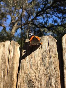 Butterfly, Red Admiral, Nature, Insect, Wildlife, Wings