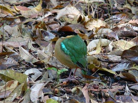 Noisy Pitta, Bird, Pitta Versicolor, Nature, Wild