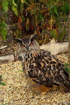 Eurasian Eagle Owl, Bird, Owl, Bubo Bubo, Predator