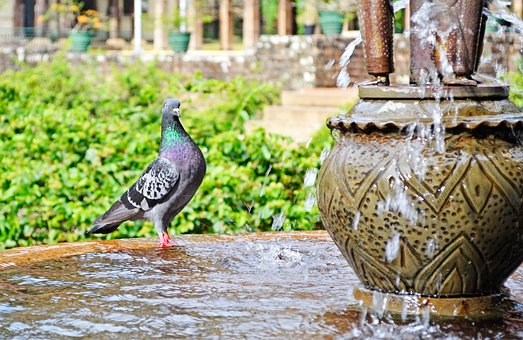 Pigeon, Water, Thirsty, Bird, Fountain, Palace