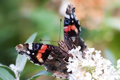 Admiral, Vanessa Atalanta, Butterfly, Patch Butterflies