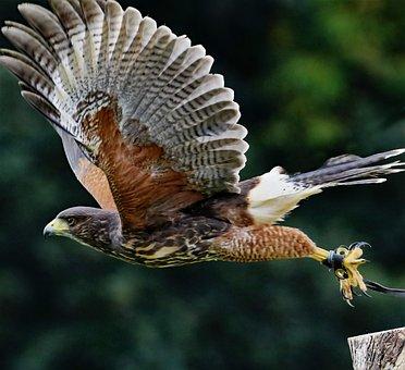 Yellow Billed Kite, Bird Of Prey, Nature, Raptor