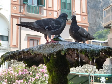 Amalfi, Thirsty, Register Your Pigeons