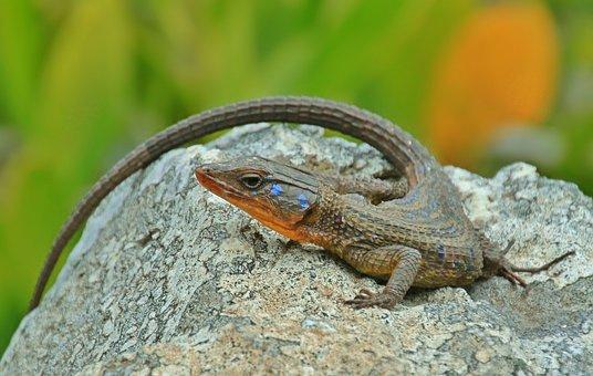 Lizard, Agame, Animal, Reptile, Lizards, Stone, Scale