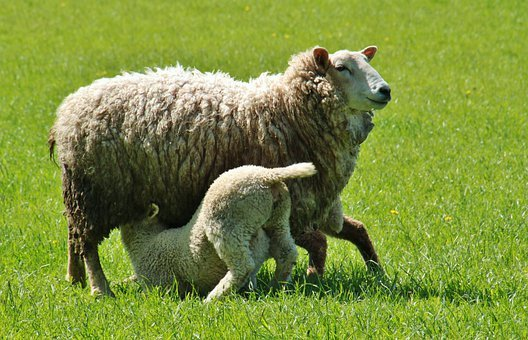 Sheep, Lamb, Lambs, Animals, Nature, Schäfchen