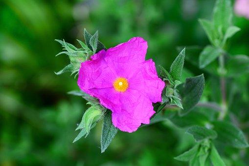 Cistus, Perennial, Shrub, Cerise, Pink