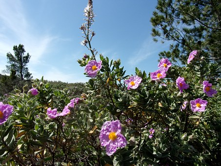 Asphodel, Cistus, Flower, Nature, Spring, Provence, Sky