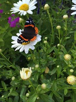 Butterfly, Daisy, Red Admiral, Summer, Flower, Nature