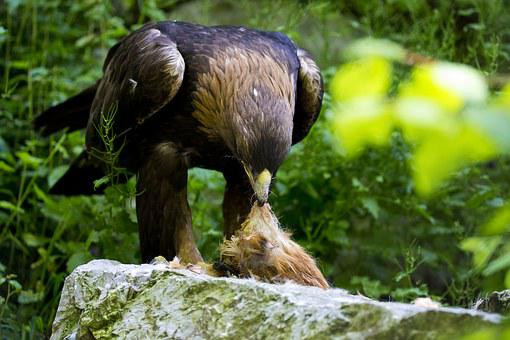 Golden Eagle, Time To Eat, Feeding, Predator