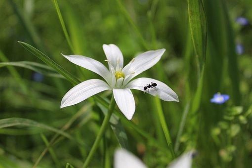 Flower, Ant, Petals, Cistus, White, Grass, Nature