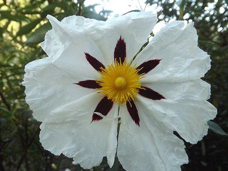 Cistus White, Jara, Flowers, Nature, Flower, Wild