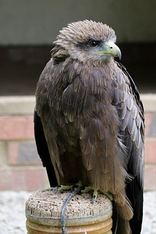 Yellow Billed Kite, Bird, Kite, Nature, Beak, Wildlife