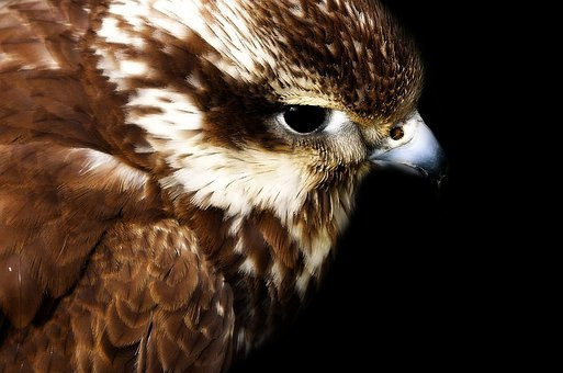 Hawk, Head, Young, Eye, Gliding, Fly, Feathers, Bird