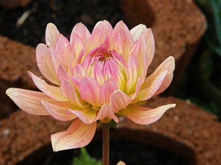 Dahlia, Garden Dahlia, Dalia, Blossom, Bloom