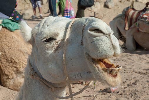 Animal, Mammal, Nature, Portrait, Head, Camel, Desert
