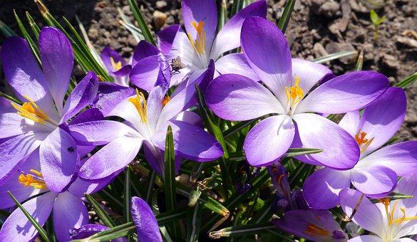 Dwarf Crocuses, Spring, Early Spring, Flower, Nature