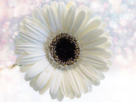 Flower, Gerbera, White, Nature, Plant, Color