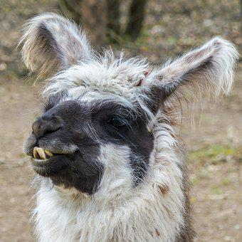 Lama, Animal, Head, Nature, Mammal, Alpaca, Wild Life