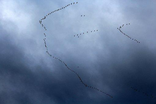 Key Birds, Migratory Bird, Migration, Flight, Sky