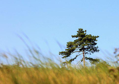Lonely Tree, Black Pine, Pine, Nature, Lawn, Wood