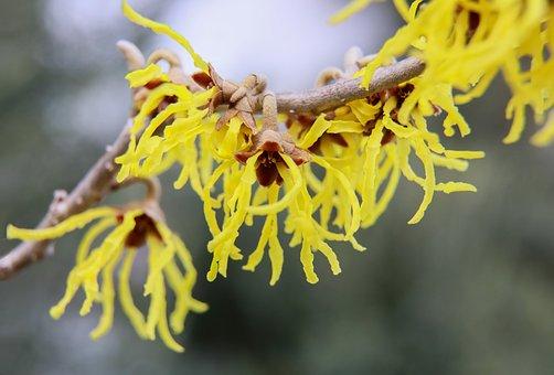 Witch Hazel, Peanut Flower, Yellow Flower