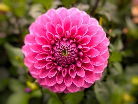 Flower, Plant, Nature, Garden, Flowers, Dahlia, Pink