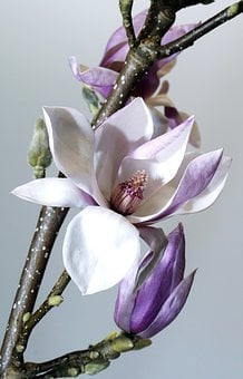 Flower, Nature, Plant, Magnolia, Garden, Flowers, Petal