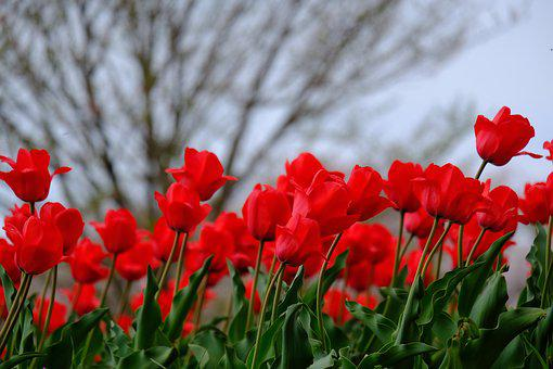 Flowers, Natural, Plant, Tulip, Leaf, Garden