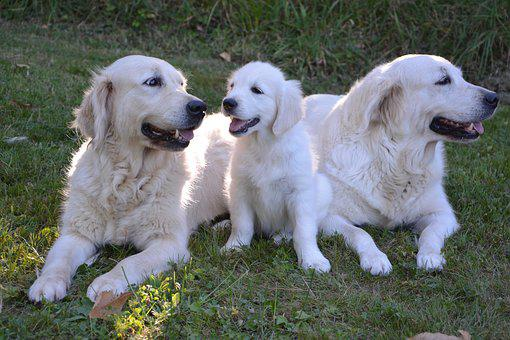 Dogs, Pup, Females, Golden Retriever, Canine, Pet