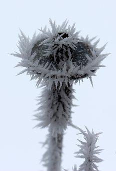 Flower, Frozen, Rime, Winter, White