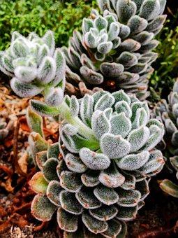 Succulent, Plant, Garden, Botanical, Flower, Nature