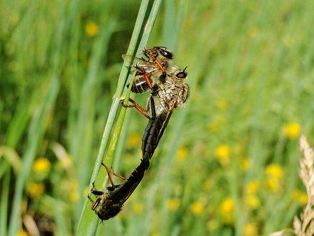 Insect, Nature, Animals, Muchówki, łowczak Bluish