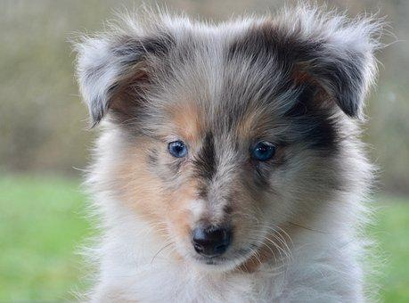 Puppy, Pup, Bitch, Shetland Sheepdog, Blue Eyes