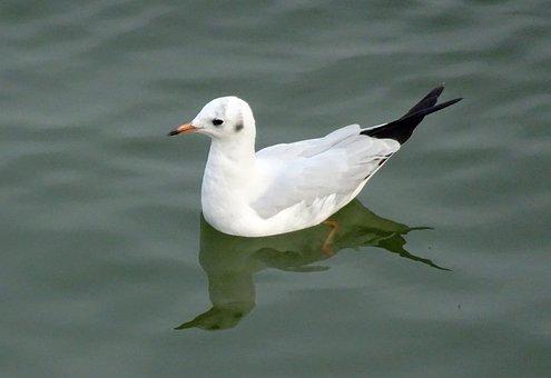 Gull, Bird, Brown-headed Gull