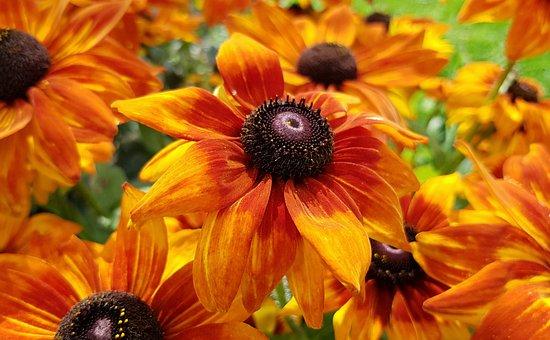 Coneflower, Blossom, Bloom, Flower, Plant, Nature