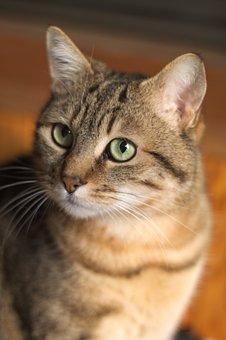 Cute, Animal, Fur, Portrait, Cat, Tabby