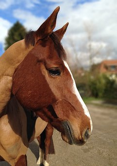 Horse, Portrait, Profile, Without A Net, Shaved, Equine
