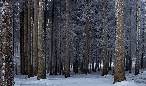 Snow, Winter, Wood, Tree, Cold, Nature, Fir, Forest