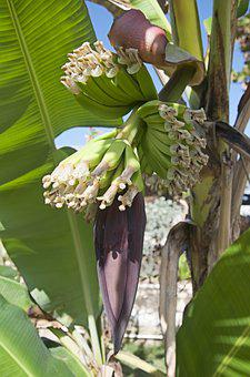 Flora, Banana, Nature, Tropical, Food, Fruit, Tree