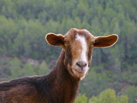 Goat, Mammalia, Farm, Animalia, Nature, Henar