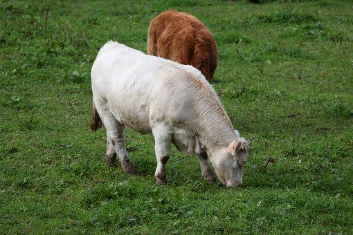Agro-industry, Mammal, Livestock, Prairie, Field, Milk