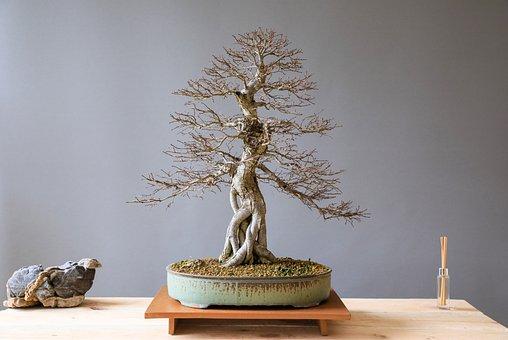 Bonsai, Elm Bonsai, Elm, Wood, Plant, Art