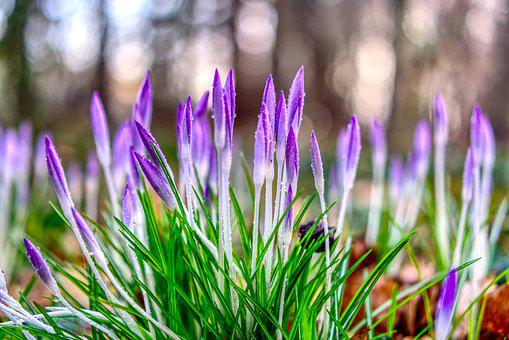 Crocus, Blossom, Bloom, Nature, Flower, Plant, Season